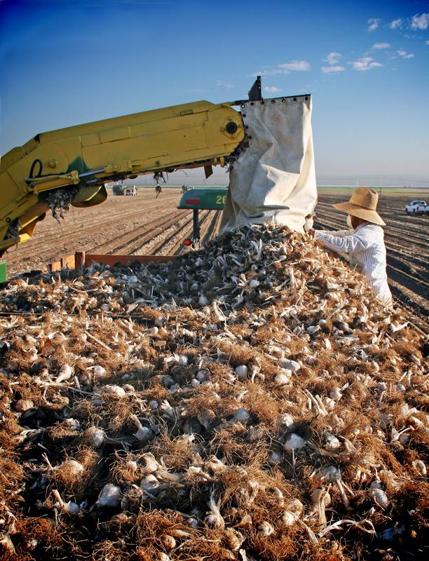 Loading Garlic Bins